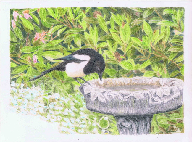 Magpie on bath WIP3